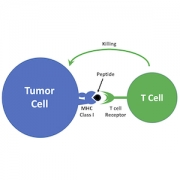 tumor cell and t cell graphic